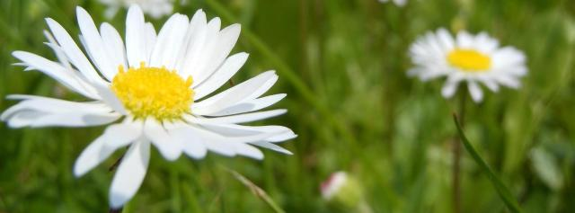 daisies-364737cropsurl.org (Large)